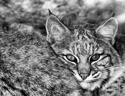Photograph - Watchful Lynx  by Wilma Birdwell