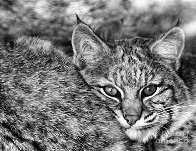 Photograph - Watchful Lynx  by Wilma Birdwell