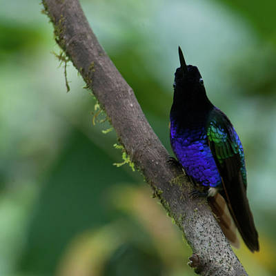 Photograph - Watchful Velvet Purple Coronet by Cascade Colors