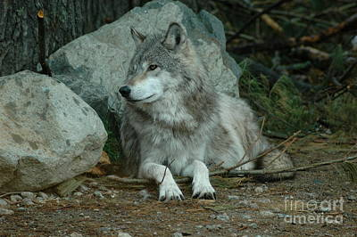 Watchful Wolf Art Print by Sandra Updyke