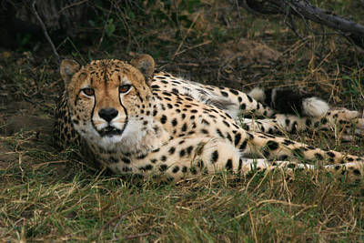 Photograph - Watchfull Cheetah by Karen Zuk Rosenblatt