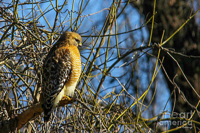 Photograph - Watchfully Hungry Coopers Hawk Art by Reid Callaway