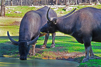 Watching 2 Water Buffalos 1 Water Buffalo Watching Me Art Print