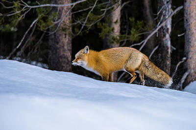 Photograph - Watching A Fox Run by Yeates Photography
