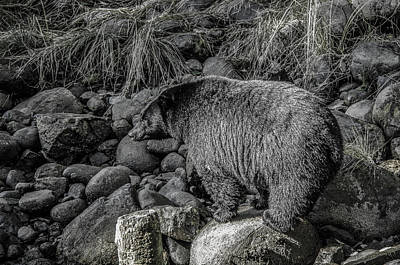 Photograph - Watching Black Bear by Roxy Hurtubise