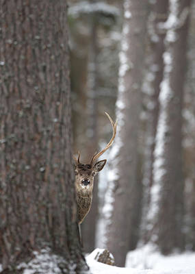 Photograph - Watching From The Woods by Peter Walkden