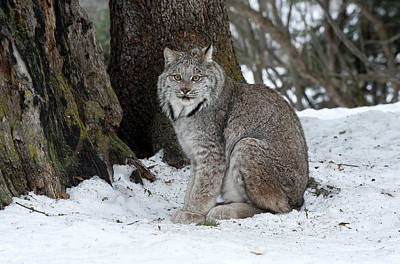 Canadian Lynx Photograph - Watching Me Watch You by Sandra Bronstein