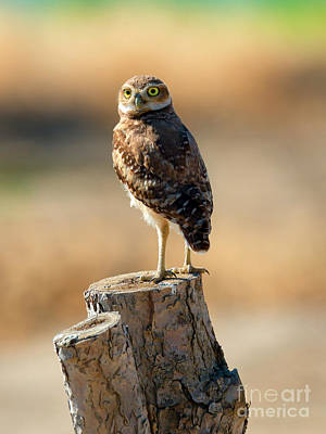 Burrowing Owl Photograph - Watching by Mike Dawson