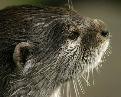 Photograph - Watching Otter by Kathryn Bell