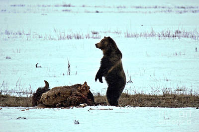 Photograph - Watching Over My Meat - Yellowstone Grizzly 2018 by Adam Jewell