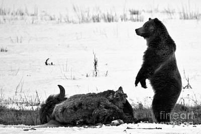 Photograph - Watching Over My Meat Yellowstone Grizzly 2018 Crop Black And White by Adam Jewell