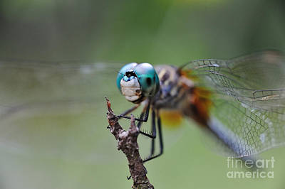 Dragonfly Photograph - Watching Over by Wayne Nielsen