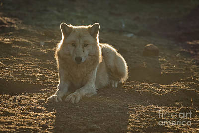 Timber Wolf Photograph - Watching You by Ana V Ramirez