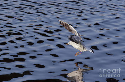 Lapwing Wall Art - Photograph - Water Alighting by Michal Boubin