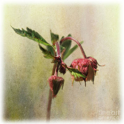 Digital Art - Water Avens by Liz Alderdice