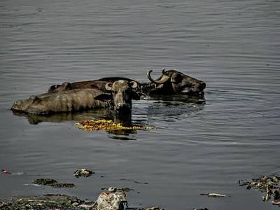 Photograph - Water Buffalo-india by Duncan Davies