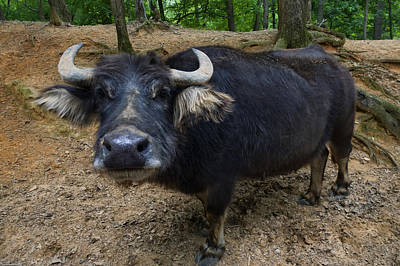 Digital Art - Water Buffalo On Dry Land by Chris Flees