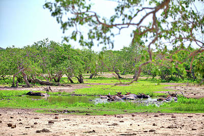 Photograph - water buffalos are laying in a fascinating landscape in the Yala Nationalpark by Regina Koch