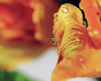 Photograph - Water Drop On Orange Petal by Angela Murdock