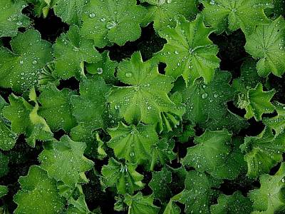 Photograph - Water Droplets On Green Leaves by Colin Drysdale