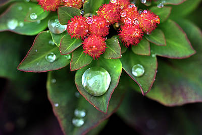 Photograph - Water Drops On Christmas Flower by Crystal Wightman