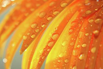 Water Drops On Daisy Petals Print by Daphne Sampson