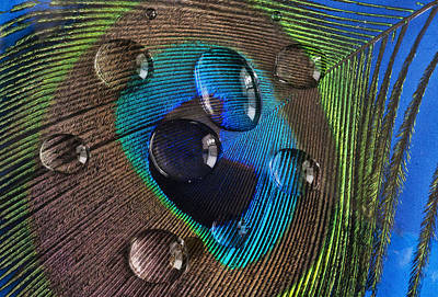 Cargo Boats Rights Managed Images - Water Drops on Feather Royalty-Free Image by Vladimir Kholostykh