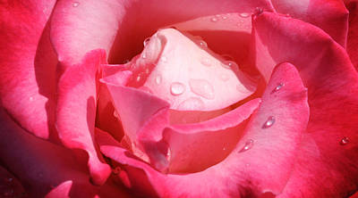 Photograph - Water Drops On Pink Rose by Haleh Mahbod