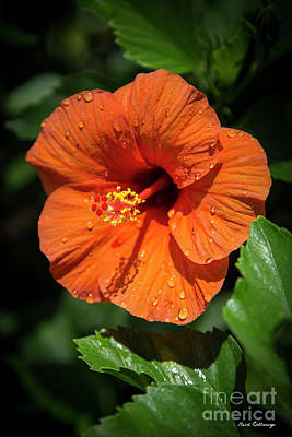 Photograph - Water Drops Orange Hibiscus Flower Kauai Hawaii Art by Reid Callaway