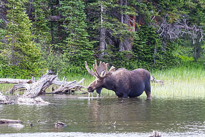 Photograph - Water Feeding Moose by James BO  Insogna
