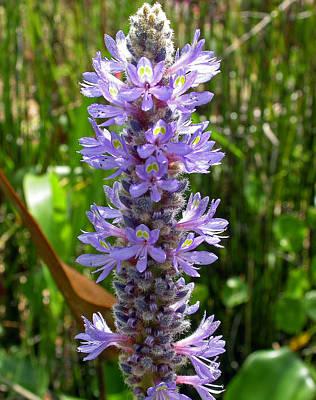 Hyacinth Photograph - Water Hyacinth by Donald Hawkaye Hill