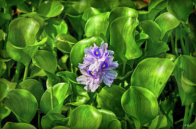 Photograph - Water Hyacinth by Hanny Heim