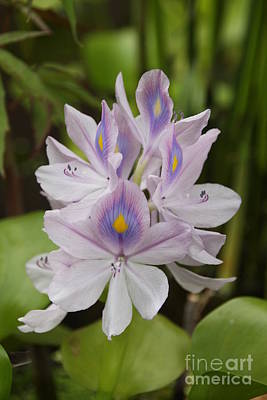 Photograph - Water Hyacinth by Wendy Coulson