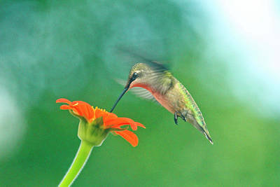 Florescent Lighting Photograph - Hummingbird And Zinnia With Sun Glare by Geraldine Scull