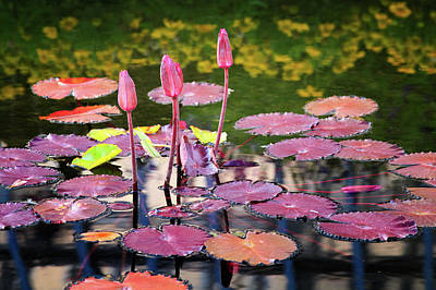 Photograph - Water Lilies  1 by Emmanuel Panagiotakis