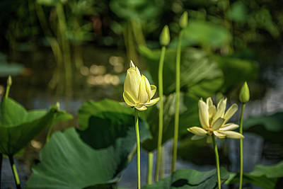 Photograph - Water Lilies 2 by Victor Culpepper