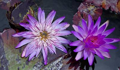 Photograph - Water Lilies 4 by Phyllis Spoor