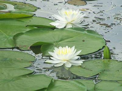 Water Lilies At Conesus Lake Art Print