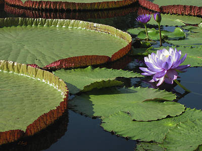Photograph - Water Lilies by Gordon Beck