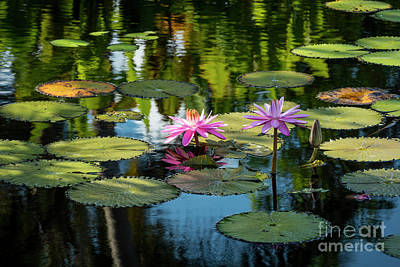 Photograph - Water Lilies II by Brian Jannsen