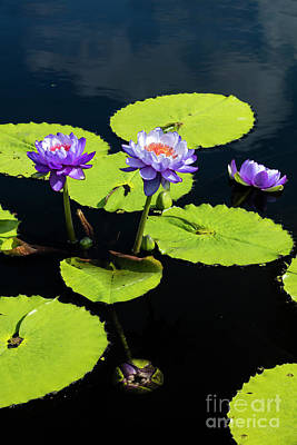 Photograph - Water Lilies IIi by Brian Jannsen