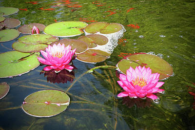 Photograph - Water Lilies In A Coy Pond by Phyllis Taylor