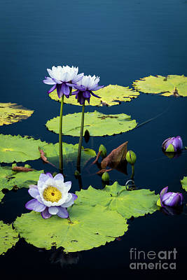 Photograph - Water Lilies Iv by Brian Jannsen