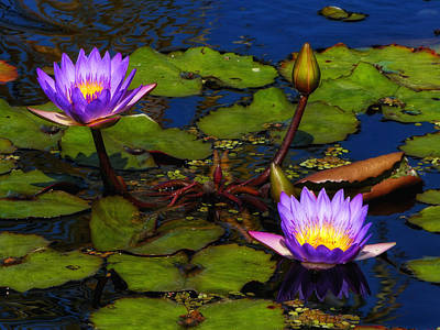 Photograph - Water Lilies Iv by Kathi Isserman
