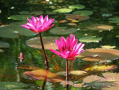 Lilies Royalty-Free and Rights-Managed Images - Water Lilies  by John Clark