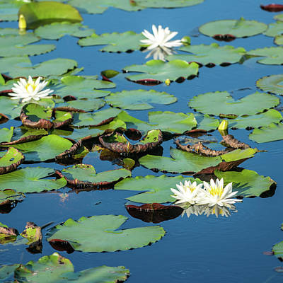 Photograph - Water Lilies by Michael Thomas