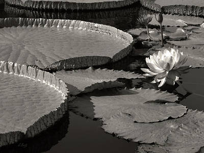 Photograph - Water Lilies, Monochrome by Gordon Beck