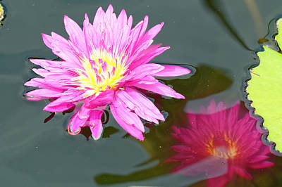 Photograph - Water Lilies by Peter Ponzio