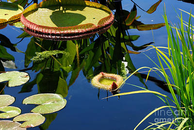 Organic Photograph - Water Lilies Reflections 5 by Nancy Mueller