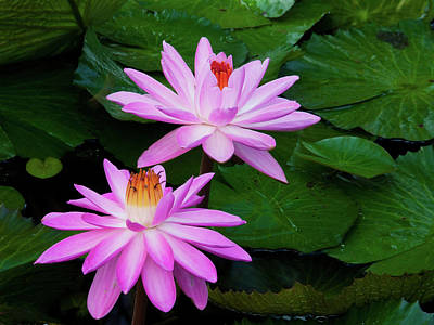Photograph - Water Lilies by Roger Mullenhour